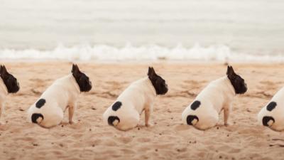 multiple pug dogs sitting on beach
