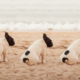 multiple pug dogs sitting on beach